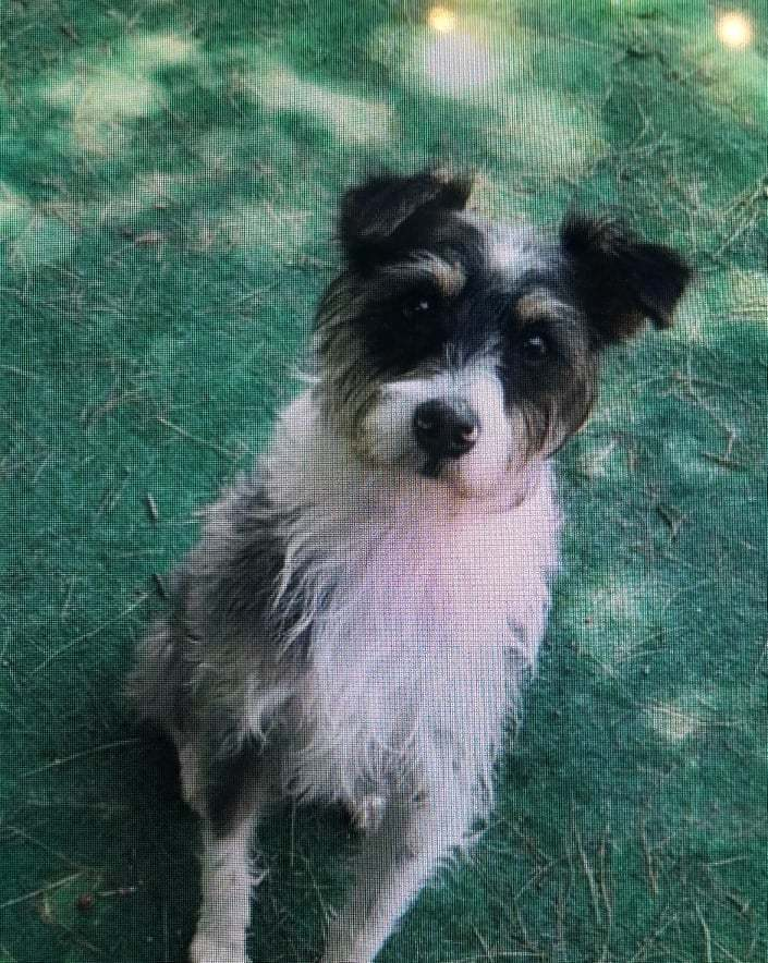 Scruffy, an adopted Terrier Mix in Brunswick, ME
