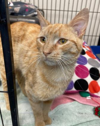 John Cena, an adoptable Domestic Short Hair Mix in Queenstown, MD