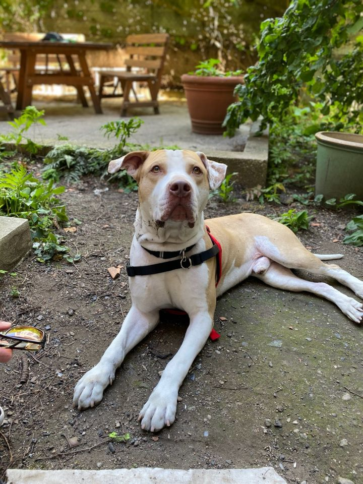 Rocco, an adoptable Pit Bull Terrier Mix in Jamaica, NY
