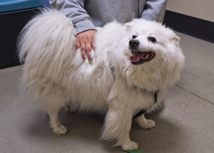 Caribou, an adopted American Eskimo Dog in Bellingham, WA