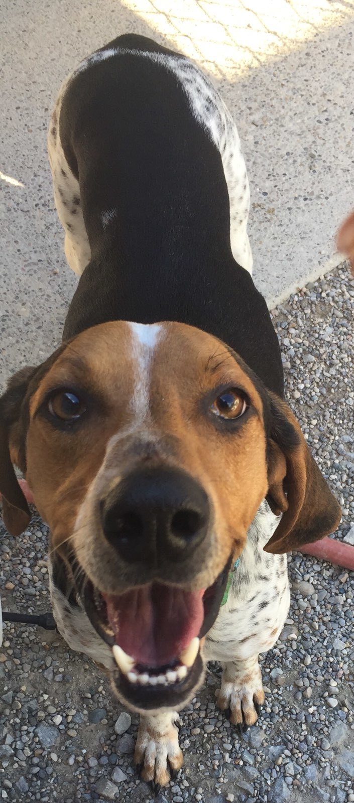 Boudreaux  aka Chigger, an adoptable English Coonhound Mix in Amelia, OH