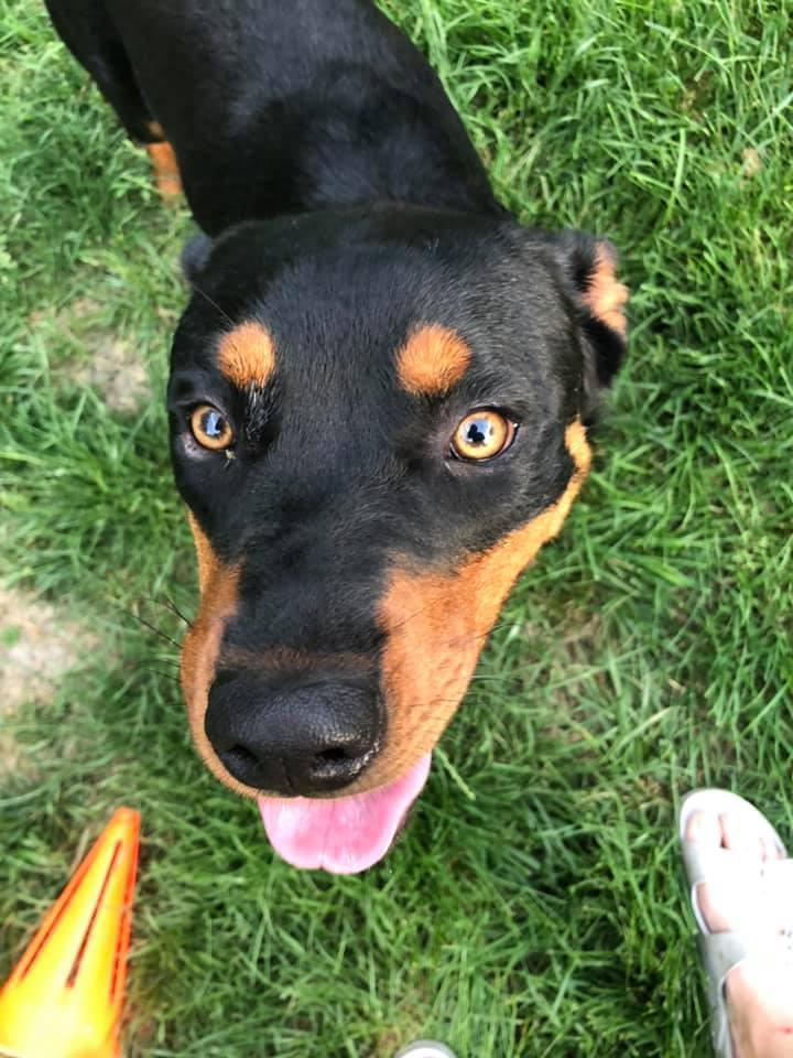 Devin, an adoptable Rottweiler Mix in Lincoln, NE
