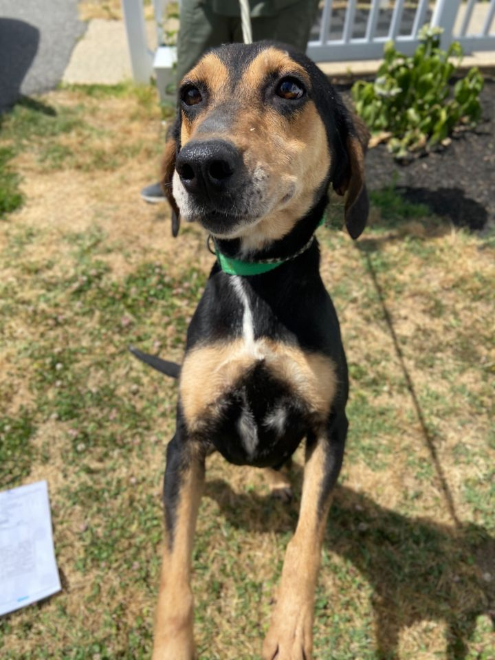 Wonder Woman, an adopted Hound Mix in Queenstown, MD