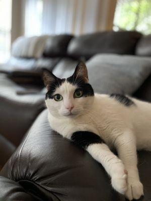Precious Domestic Short Hair Cat