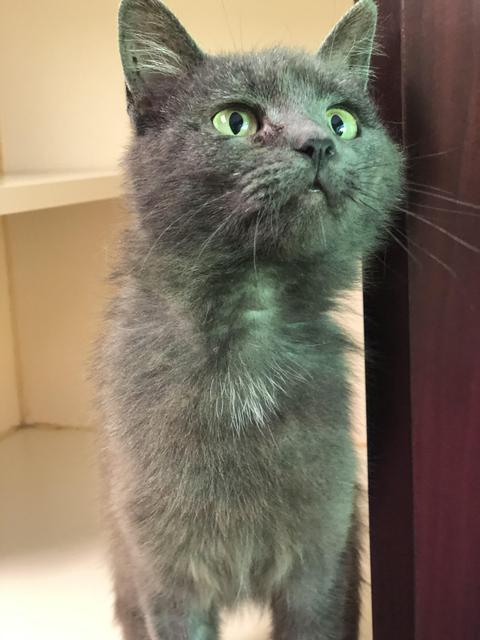Edward - update! adopted!, an adopted Domestic Short Hair in Myerstown, PA