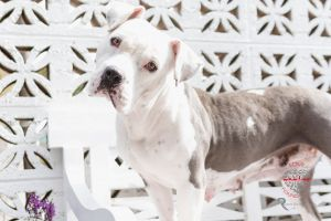 Meet Ruthy Ruthy is a beautiful Pit Bull about 2 years old She has been socialized with people ki