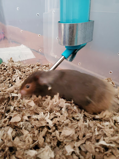 Dodie, an adoptable Hamster in Saint Paul, MN