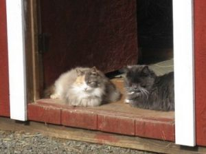 Alley Cat Project rescues feral cats primarily through TNR Trap-Neuter-Return Occasionally th