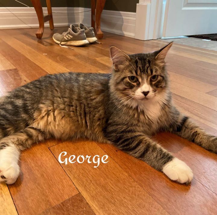 George, an adoptable Domestic Long Hair in Chatham, ON