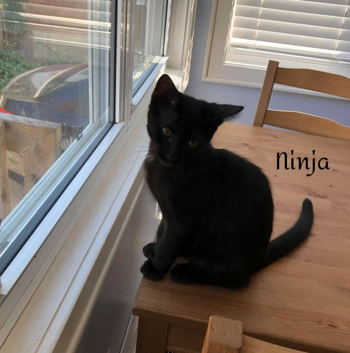 Ninja, an adoptable Domestic Long Hair in Chatham, ON