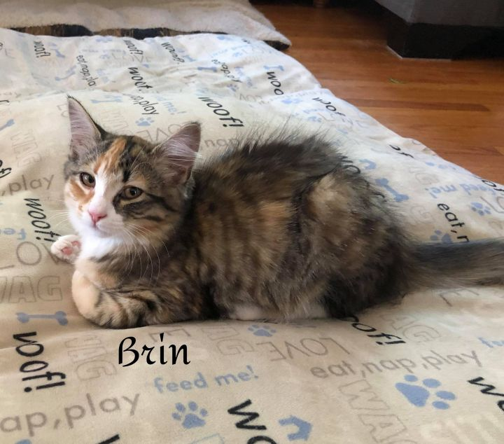 Brin, an adoptable Domestic Long Hair in Chatham, ON