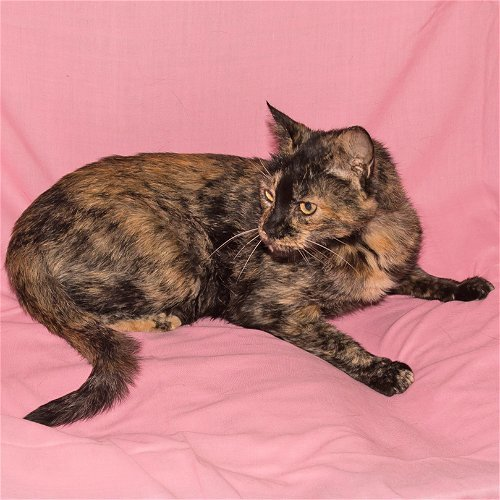 Chloe F12-23-19-2, an adoptable Domestic Medium Hair in Rowlett, TX