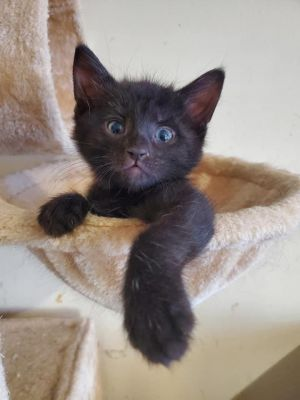 Chauncey is an adorable 8-9 week old boy Hecame to CARF from Kentucky with his