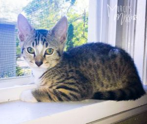 Totally Rad Tony is an amazing and social 4 month old kitten that came to Murcis Mission after bein