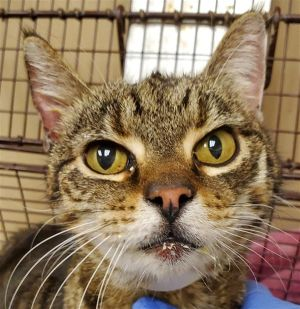 Primary Color Brown Tabby Weight 909375lbs Animal has been Spayed