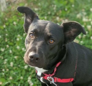 This pretty girl is Letti a 2-year-old shepherd mix looking for a forever home She weighs 49 lbs