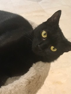 Onyx is a black female Shes approximately one year old She is spayed vaccinated and has a clean