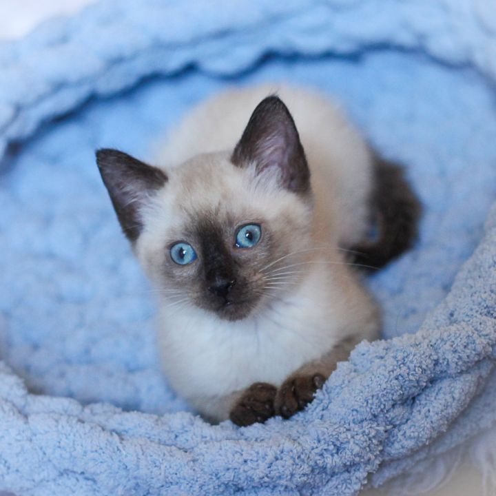 Angora, an adopted Siamese & Domestic Short Hair Mix in Ponte Vedra, FL