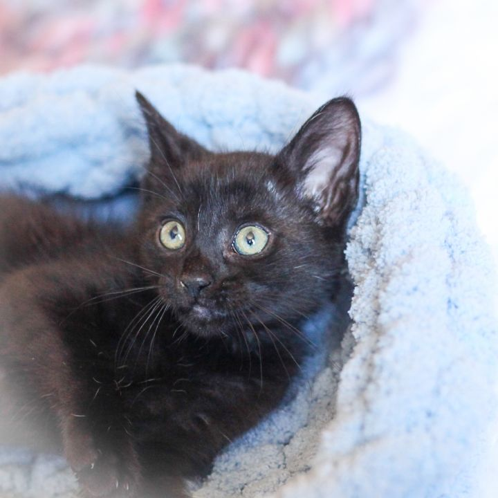 Abelene, an adopted Domestic Short Hair Mix in Ponte Vedra, FL
