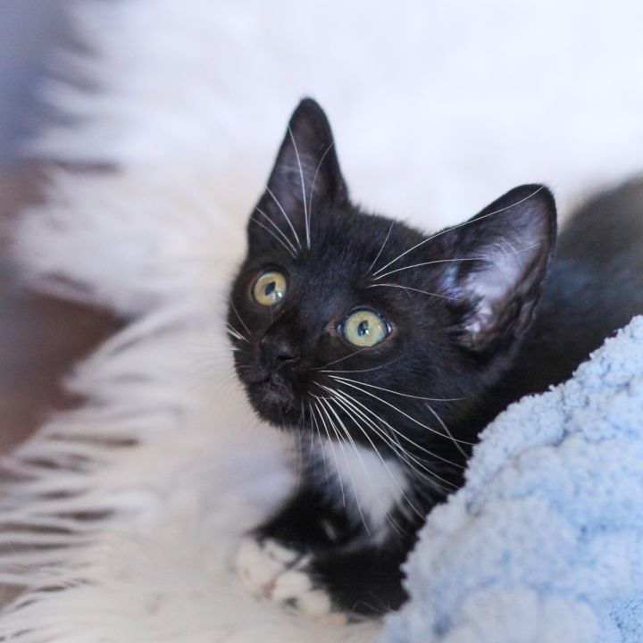 Afton, an adopted Domestic Short Hair Mix in Ponte Vedra, FL