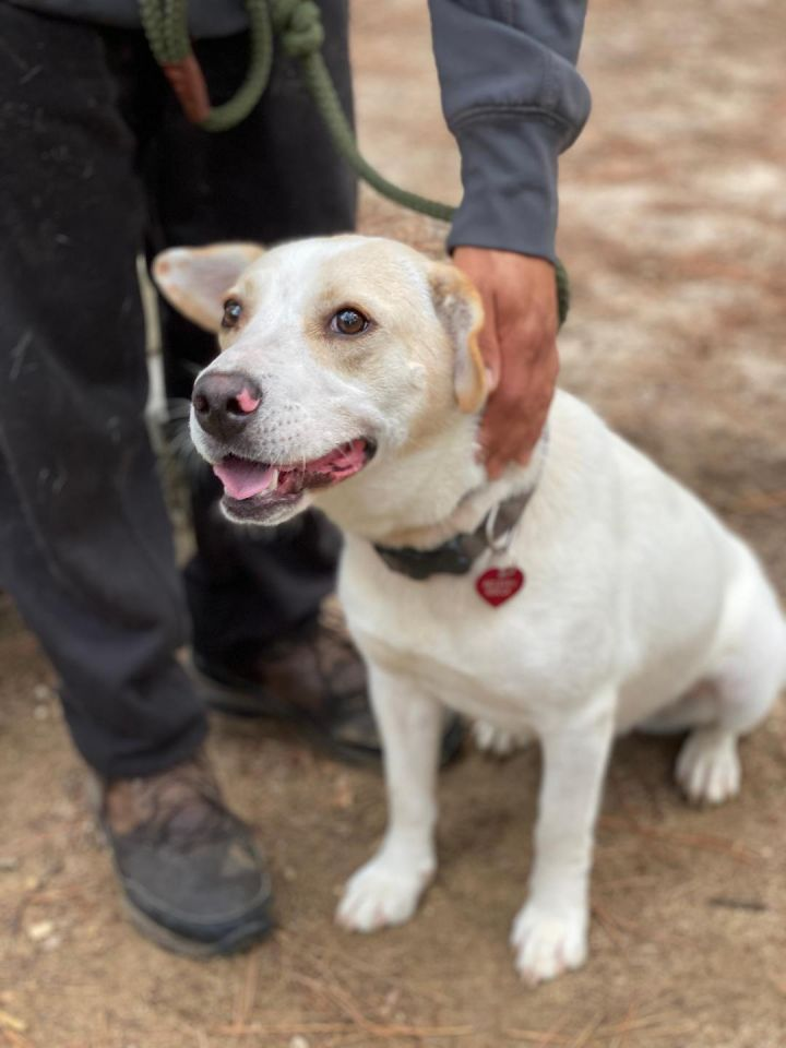 Lady, an adoptable Cattle Dog Mix in Clayton, NC
