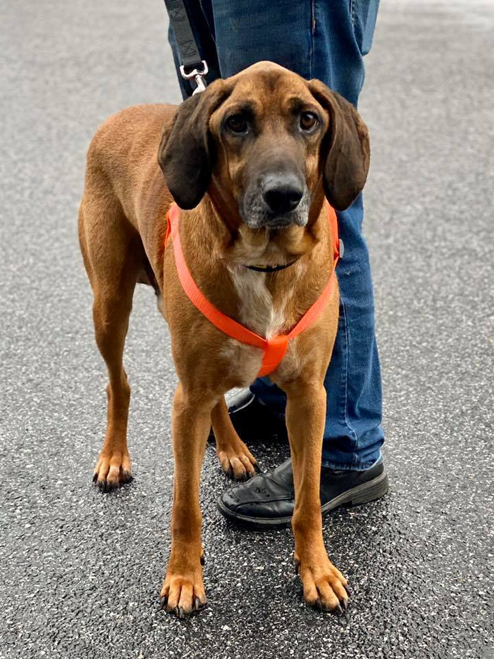 Bruce, an adopted Hound Mix in Millersville, MD