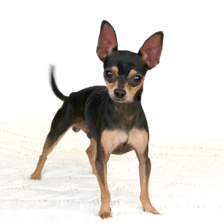 Spike, an adopted Chihuahua Mix in Clovis, CA
