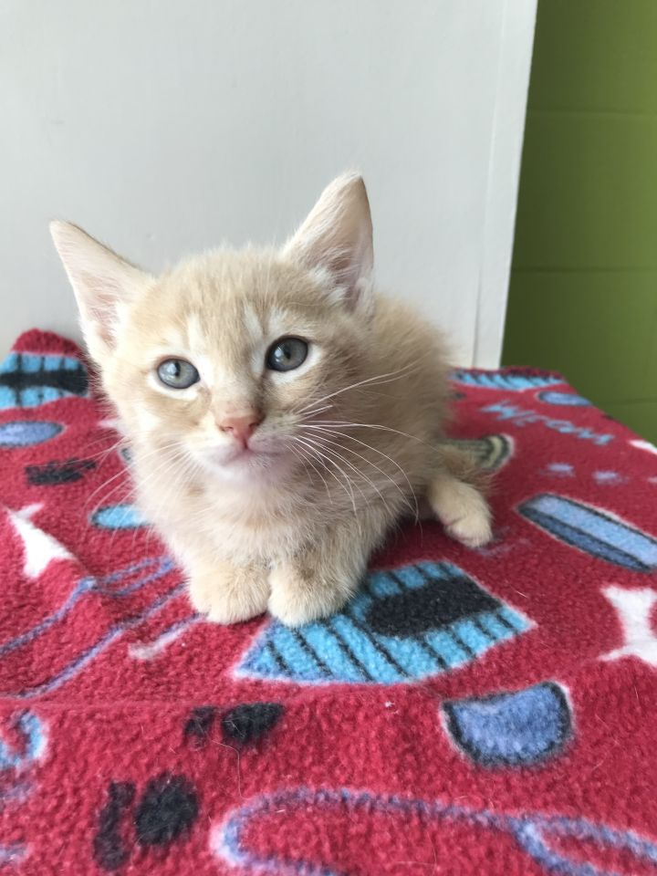 Bo, an adopted Domestic Short Hair Mix in Carencro, LA