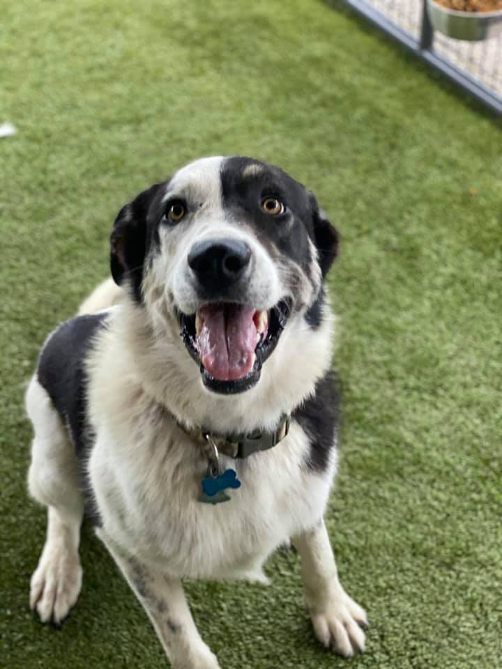 Busch, an adoptable Great Pyrenees Mix in Springfield, MO