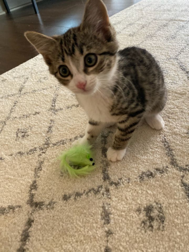 Stella, an adopted Domestic Short Hair Mix in Springfield, MO