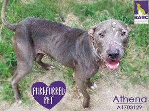 Little Athena needs a home who can put some meat on those bones This skinny gir