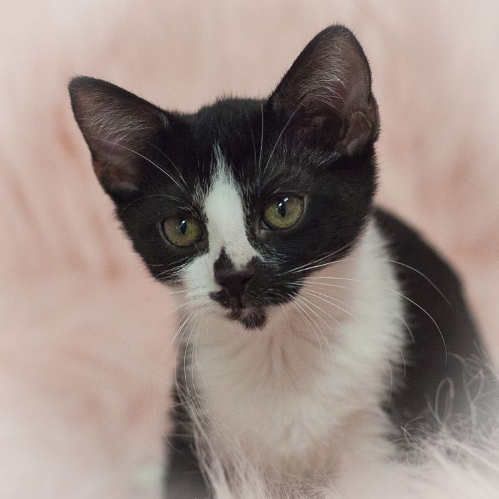 Yulee, an adopted Domestic Short Hair Mix in Ponte Vedra, FL