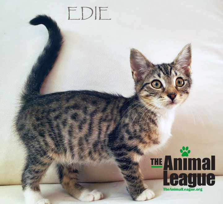 Edie, an adopted Domestic Short Hair Mix in Clermont, FL