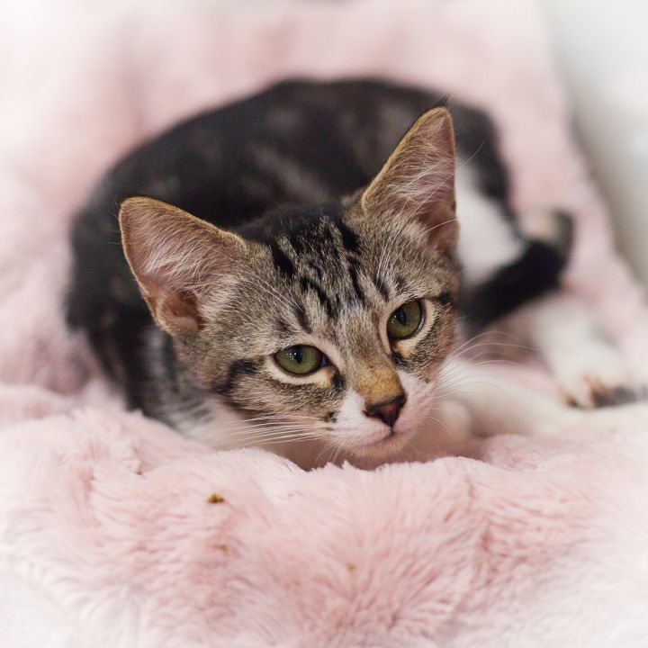 Yasmine, an adopted Domestic Short Hair in Ponte Vedra, FL