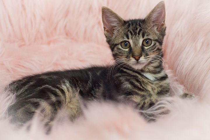 Nashville, an adopted Domestic Short Hair in Ponte Vedra, FL