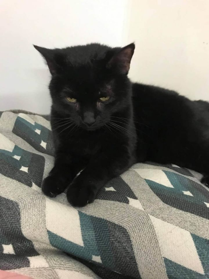 Binx, an adoptable Domestic Short Hair in Dallas, PA
