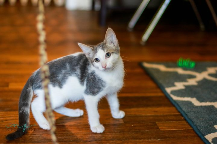 Snowflake, an adoptable Domestic Short Hair Mix in Springfield, MO