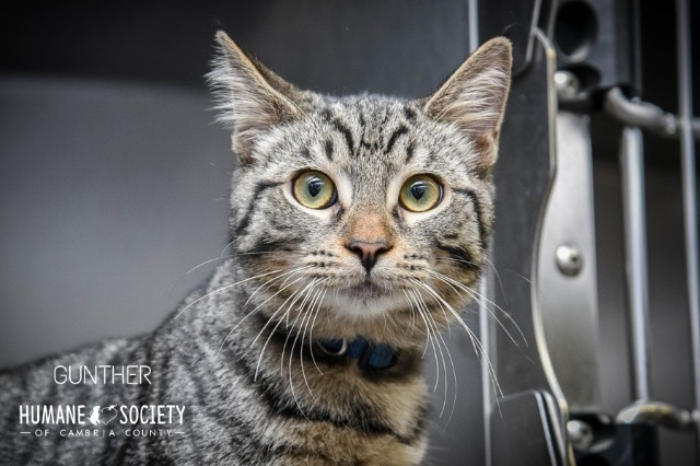 Gunther, an adoptable Domestic Short Hair in Johnstown, PA