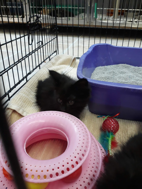 LEENA, an adopted Domestic Long Hair in Cape Girardeau, MO