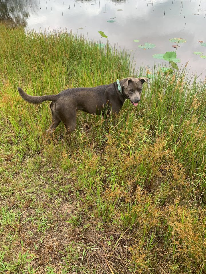 Gracie, an adopted Pit Bull Terrier & Labrador Retriever Mix in Darien, CT