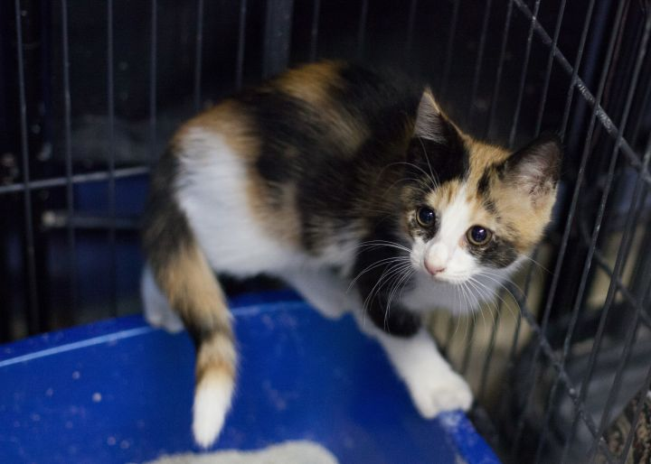 TAYLOR, an adopted Domestic Short Hair in Cape Girardeau, MO