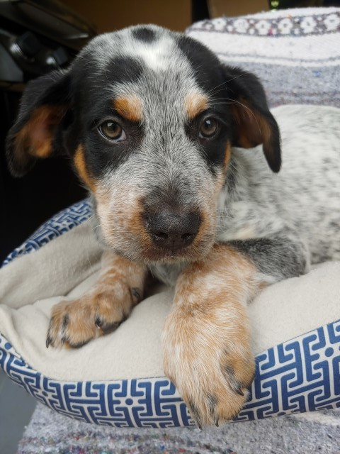 Mel, an adopted Bluetick Coonhound & Terrier Mix in Lenoir, NC