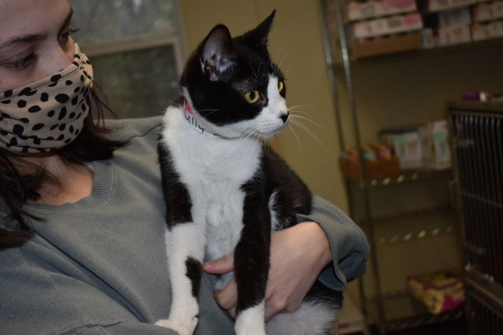 Lilly, an adoptable Domestic Short Hair in Milledgeville, GA