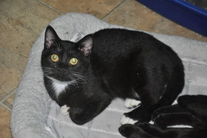 Tigger, an adoptable Tuxedo & Domestic Short Hair Mix in Milledgeville, GA