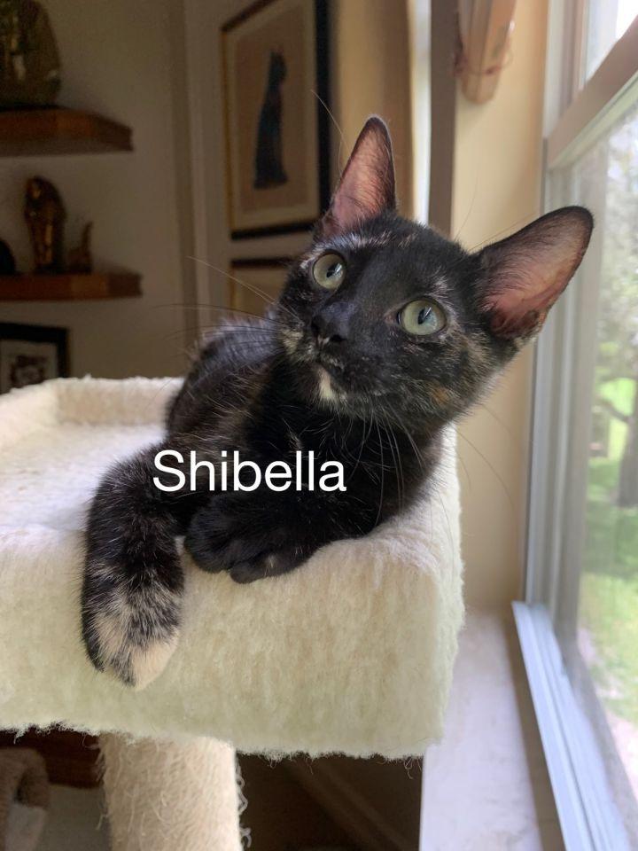 Shibella 1