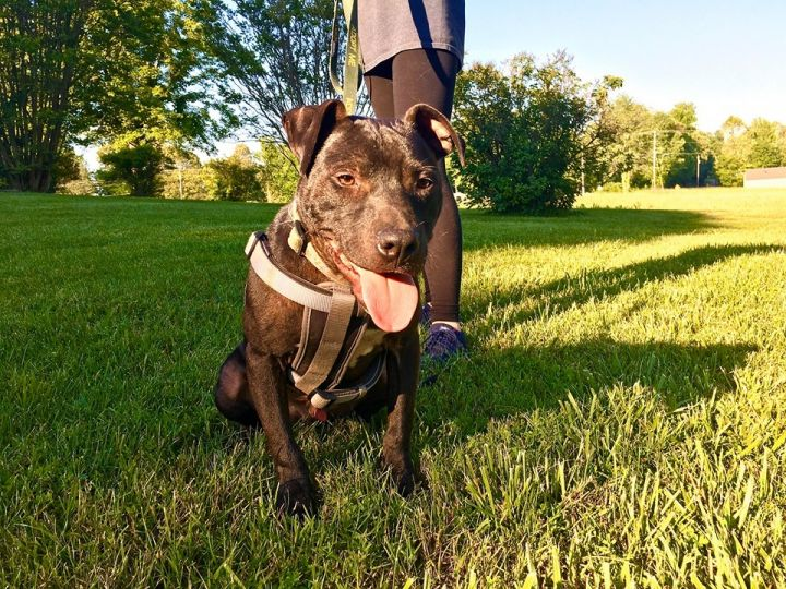 Amadi, an adopted American Staffordshire Terrier Mix in Lexington, KY