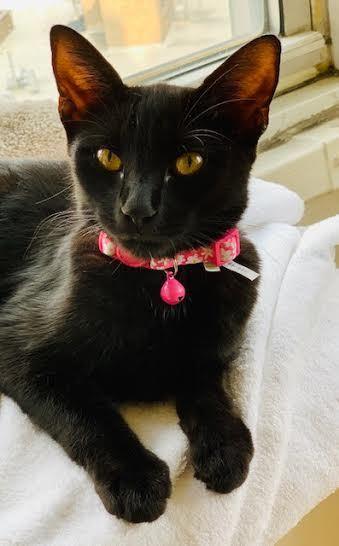 Peace Bombay Kitty