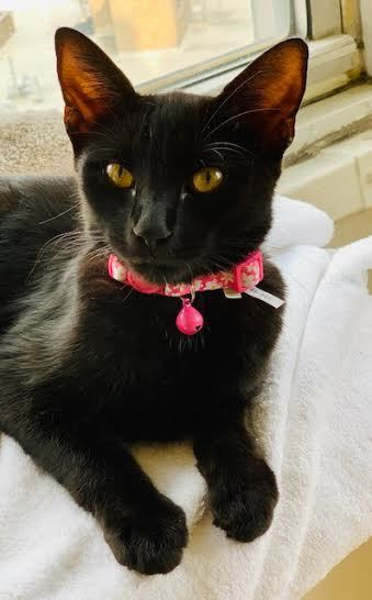 Peace Bombay Kitty 1