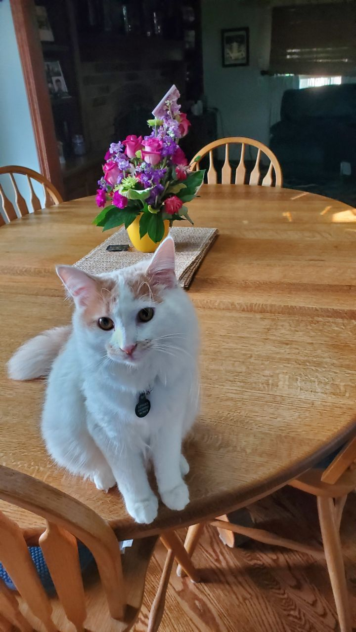 Cotton, an adoptable Domestic Medium Hair in Darien, IL