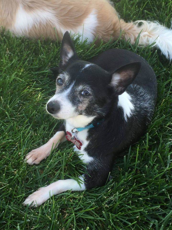 Marsha, an adopted Chihuahua & Rat Terrier Mix in Oak Forest, IL
